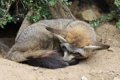 έχουσα νώτα αλεπού ροπάλ&omega Στοκ εικόνα με δικαίωμα ελεύθερης χρήσης