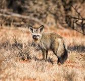 έχουσα νώτα αλεπού ροπάλ&omega Στοκ Εικόνες