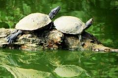 έχουσα νώτα κόκκινη χελώνα Στοκ Φωτογραφίες