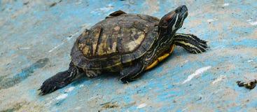 έχουσα νώτα κόκκινη χελώνα Στοκ Εικόνες