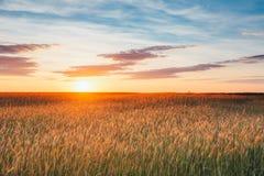 Έχων νώτα τομέας σίτου, θερινός νεφελώδης ουρανός στο ηλιοβασίλεμα Dawn Sunrise ουρανός Στοκ Φωτογραφία