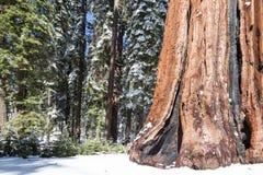 Έδαφος γιγαντιαία Sequoias Στοκ εικόνα με δικαίωμα ελεύθερης χρήσης