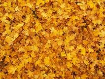 Έδαφος πάρκων φθινοπώρου με τα ξηρά κίτρινα πορτοκαλιά φύλλα σφενδάμου, ζωηρόχρωμο φύλλο Στοκ Εικόνες