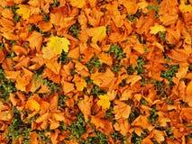 Έδαφος πάρκων φθινοπώρου με τα ξηρά κίτρινα πορτοκαλιά φύλλα σφενδάμου, ζωηρόχρωμο φύλλο Στοκ Εικόνα