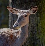 Έλαφος που στέκεται μπροστά από ένα δέντρο Στοκ Φωτογραφίες