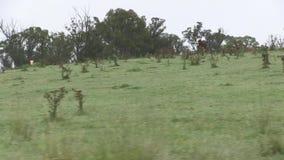 Έδαφος που χρησιμοποιείται σήμερα για τη βοσκή βοοειδών απόθεμα βίντεο