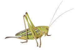 Έλαφος grasshopper 5 Στοκ φωτογραφία με δικαίωμα ελεύθερης χρήσης