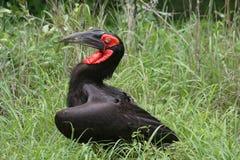 Έδαφος hornbill στοκ εικόνες με δικαίωμα ελεύθερης χρήσης