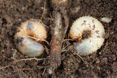 Έλεγχος παρασίτων, έντομο, γεωργία Η προνύμφη chafer τρώει τη ρίζα εγκαταστάσεων Στοκ εικόνα με δικαίωμα ελεύθερης χρήσης