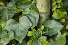 Έλικας Hedera, κοινός κισσός, φύλλα και μίσχος μπαμπού Στοκ Φωτογραφία