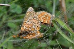 Έλος fritillaries (aurinia Euphydryas) στον Ιστό της αράχνης Στοκ φωτογραφία με δικαίωμα ελεύθερης χρήσης