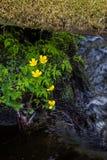 Έλος-marigold Στοκ Εικόνα