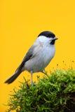 Έλος Tit, palustris Parus, συνεδρίαση Songbird στο συμπαθητικό κλάδο δέντρων λειχήνων με, λίγο πουλί στο δασικό βιότοπο φύσης, το Στοκ Φωτογραφίες