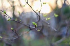ήδη να αρχίσει πρέπει να ξυπνήσει την παρούσα άνοιξη χιονιού φυτών λιμνών πάγου χειμέριας νάρκης όχι thawn ακόμα Τα νέα πράσινα φ Στοκ Φωτογραφία