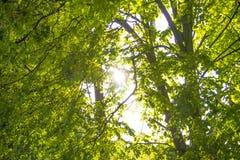 Ήλιος άνοιξη που λάμπει μέσω του θόλου των ψηλών ξύλων δέντρων Φως του ήλιου στο δάσος, θερινή φύση Ανώτεροι κλάδοι του υποβάθρου Στοκ Εικόνες