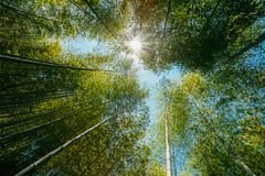 Ήλιος άνοιξη που λάμπει μέσω του θόλου των ψηλών ξύλων μπαμπού δέντρων Στοκ φωτογραφία με δικαίωμα ελεύθερης χρήσης
