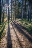 Ήλιος και σκιές που σύρουν τις δασικές γραμμές πεύκων γραμμών την άνοιξη σκιών και διάβασης Στοκ Φωτογραφία
