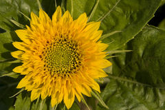 ήλιος λουλουδιών ανθίσ Στοκ Φωτογραφία