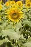 ήλιος λουλουδιών ανθίσ Στοκ Εικόνα