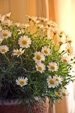 ήλιος λουλουδιών δεσ&mu στοκ εικόνες