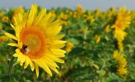 ήλιος λουλουδιών κινηματογραφήσεων σε πρώτο πλάνο Στοκ φωτογραφία με δικαίωμα ελεύθερης χρήσης
