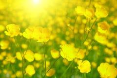 ήλιος λουλουδιών πεδίων Στοκ Φωτογραφία