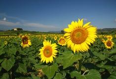 ήλιος λουλουδιών πεδί&omeg Στοκ Εικόνες