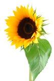 ήλιος λουλουδιών συλ&l Στοκ Φωτογραφία