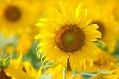 ήλιος λουλουδιών Στοκ εικόνα με δικαίωμα ελεύθερης χρήσης
