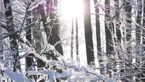 Ήλιος μέσω των δέντρων στο χειμερινό δάσος απόθεμα βίντεο