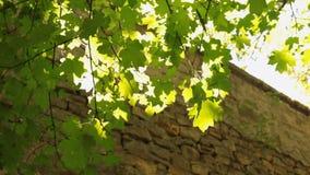 Ήλιος μέσω των φύλλων και η ανάπτυξη δέντρων από τον τοίχο πετρών απόθεμα βίντεο