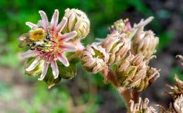 Ήλιος μελισσών tectorum Sempervivum στοκ φωτογραφίες με δικαίωμα ελεύθερης χρήσης