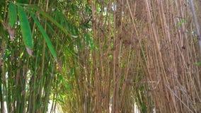 Ήλιος που λάμπει μέσω των φύλλων μπαμπού στο δάσος αλσών μπαμπού φιλμ μικρού μήκους