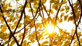 Ήλιος που λάμπει μέσω των φύλλων πτώσης που φυσούν στον αέρα απόθεμα βίντεο