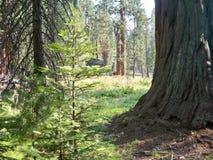 Ήλιος που λάμπει στο Forrest στοκ εικόνες