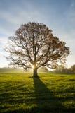 Ήλιος που σκάει μέσω των σχεδόν κενών κλάδων ενός δέντρου οξιών επάνω στοκ φωτογραφία με δικαίωμα ελεύθερης χρήσης