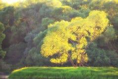 Ήλιος στο δέντρο Στοκ Εικόνες