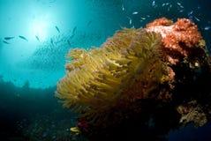 ήλιος anemone Στοκ φωτογραφία με δικαίωμα ελεύθερης χρήσης