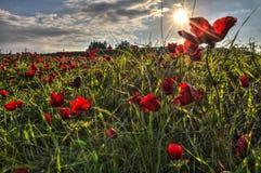Ήλιος Shinning στο υπόβαθρο των ανθίζοντας κόκκινων λουλουδιών Anemone Coronaria Στοκ Εικόνες