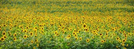 """Ήλιων λουλουδιών σειρά κήπων """"δύναμης """"αμερικανική από τα στούντιο της Zen Duder στοκ εικόνα"""