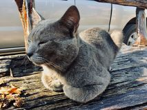 Ήμερη γάτα στοκ εικόνα με δικαίωμα ελεύθερης χρήσης