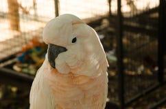 Ήμερος άσπρος παπαγάλος με το μαύρο ράμφος Στοκ Φωτογραφία