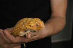 ήμερος, αιχμάλωτος, εγγενής πορτοκαλής πίσω γενειοφόρος δράκος δέρματος στοκ εικόνα