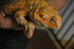 ήμερος, αιχμάλωτος, εγγενής πορτοκαλής πίσω γενειοφόρος δράκος δέρματος στοκ φωτογραφία