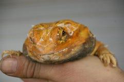 ήμερος, αιχμάλωτος, εγγενής πορτοκαλής πίσω γενειοφόρος δράκος δέρματος στοκ φωτογραφία με δικαίωμα ελεύθερης χρήσης