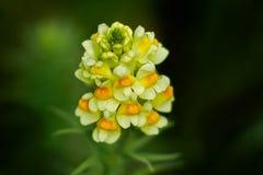 Ήπια λουλούδι antirrhinum Στοκ Εικόνα