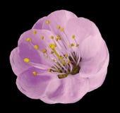 Ήπια ρόδινο λουλούδι Apple-δέντρων που απομονώνεται στο μαύρο υπόβαθρο με το ψαλίδισμα της πορείας χωρίς σκιές Κινηματογράφηση σε Στοκ Εικόνες