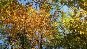 Ήρεμα χρωματισμένα φθινόπωρο treetops απόθεμα βίντεο