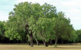 Ήρεμη και ειρηνική άποψη των όμορφων μεγάλων πράσινων δέντρων στο ηλιοβασίλεμα στο San Antonio στοκ εικόνα