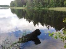 Ήρεμη μαύρη δασύτριχη χαλάρωση σκυλιών στη λίμνη Στοκ Εικόνες